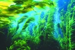 водоросли Япония
